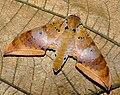 Ambulyx moorei.jpg
