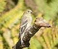 American Goldfinch, Washington State 02.jpg