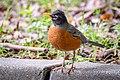 American Robin (40105224925).jpg
