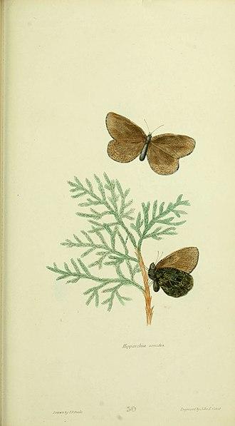 Oeneis melissa - As Hipparchia semidea by Titian Peale