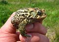 American toad (5799355327).jpg