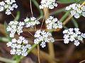 Ammoides pusilla Enfoqueflores 2011-6-11 CampodeCalatrava.jpg