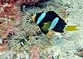 Amphiprion clarkii Maldives.JPG