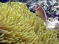 Amphiprion perideraion, Queensland.jpg