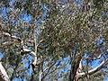 Amyema miquelii on Eucalyptus melliodora (37804669442).jpg