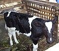 Anak sapi.jpg
