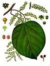 Anamirta cocculus - Köhler–s Medizinal-Pflanzen-157.jpg