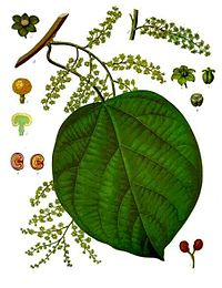 Anamirta cocculus - Köhler–s Medizinal-Pflanzen-157