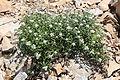 Anaphalis margaritacea subsp. margaritacea.JPG