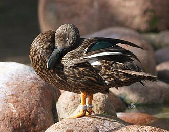 Meller's duck - Sexes look alike. Note lack of supercilium.