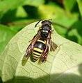 Ancistrocerus sp. (Vespidae, Eumeninae) - Flickr - gailhampshire.jpg
