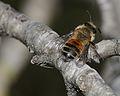Andrena elmaria female 1.jpg