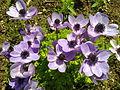 Anemone coronoria - 4.jpg