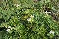 Anemone narcissiflora 36.jpg