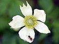 Anemone virginiana 2724-2737.jpg
