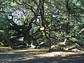 Angel Oak Tree, November 2012.jpg