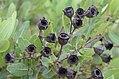 Angophora hispida DSC 6592 (33368522242).jpg