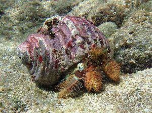 Diogenidae - Image: Aniculus ursus