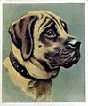 Animal card mastiff.jpg