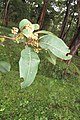 Anogeissus latifolia - Axle Wood Tree - at Begur 2014 (10).jpg