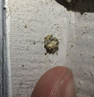 Antlion - An antlion cocoon on the side of a house.