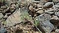 Antennaria flagellaris 1.jpg