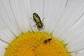 Anthaxia nitidula (Buprestidae), ♂ (9520048178).jpg