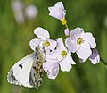 Anthocharis-cardamines.jpg