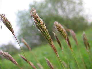 <i>Anthoxanthum</i> Genus of grasses