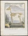 Antilope cervicapra - skelet - 1700-1880 - Print - Iconographia Zoologica - Special Collections University of Amsterdam - UBA01 IZ21400105.tif
