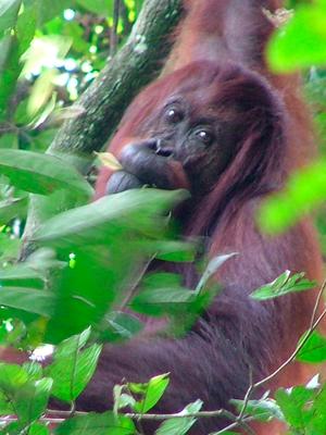 Sabangau National Park - Orangutan in Sabah, Borneo