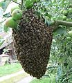 Apis mellifera swarm in Czech Republic.jpg