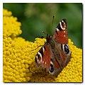 Appeltern20 - Peacock butterfly (4092694203).jpg