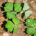 Aquilegia vulgaris in Aveyron (4).jpg