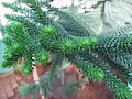 Araucaria luxurians leaves 01 by Line1.JPG