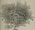 Arboretum et fruticetum britannicum, or - The trees and shrubs of Britain, native and foreign, hardy and half-hardy, pictorially and botanically delineated, and scientifically and popularly described (14760982056).jpg