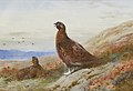 Archibald Thorburn The Challenge 1917.jpg