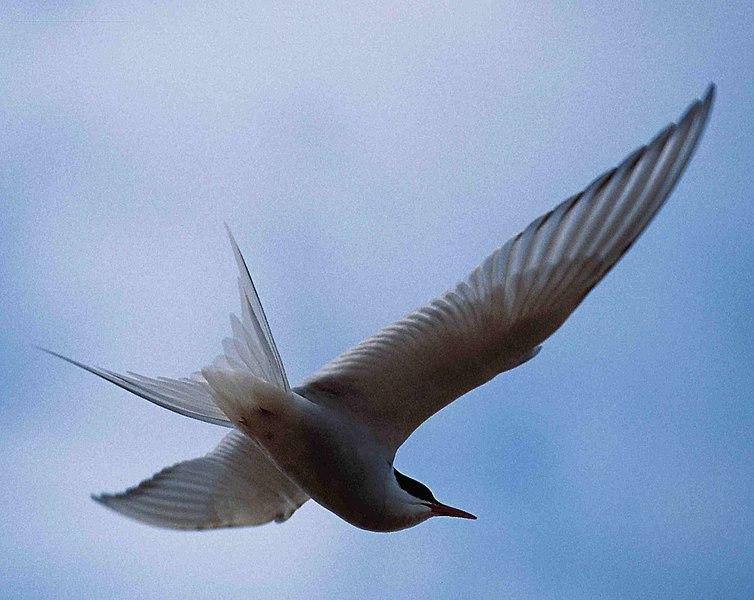File:Arctic Tern 1997-08-04.jpg