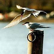 photographie montrant deux sternes, l'une sur un poteau, la seconde en vol avec un petit poisson dans le bec
