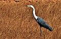 Ardea pacifica (White-necked Heron), Perth, WA 2.jpg