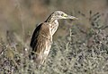 Ardeola ralloides - Squacco heron 07.jpg