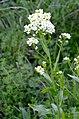 Armoracia rusticana* (8254731058).jpg