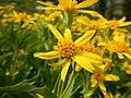 Arnica longifolia (29135006011).jpg