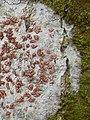 Arthonia cinnabarina (DC.) Wallr 225606.jpg