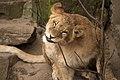 Artis Lion cub Kianga breaking sticks (6807966316).jpg