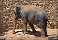 Asian-Elephant-Jerusalem-Jerusalem-Biblical-Zoo-IZE-295.jpg