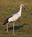 Asian openbill stork (Anastomus oscitans).jpg