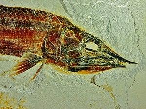 Aspidorhynchus sanzenbacheri head - Eichstaett, Jura-Museum.jpg
