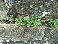 Asplenium ruta-muraria 78673504.jpg