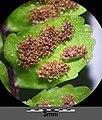 Asplenium trichomanes subsp. quadrivalens sl9.jpg